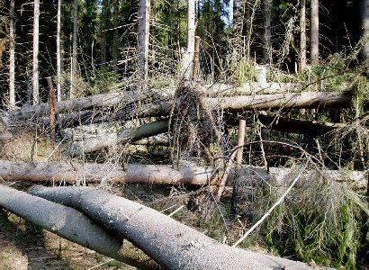 Zelený Liška a další ekologisté blokují kácení. Vlastními těly