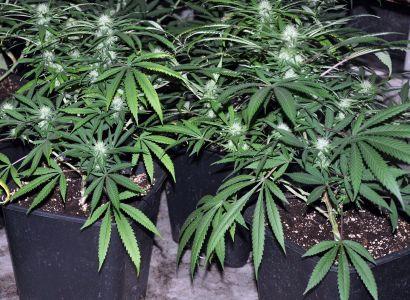 Marihuana v lékárnách už za rok. Experti mají seznam nemocí