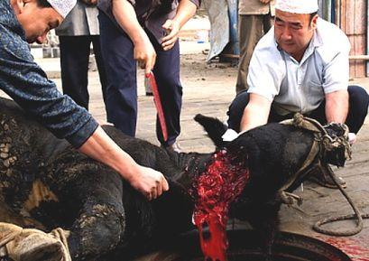 Šokující rozhodnutí ministerstva o podřezávání živých zvířat