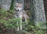 Soud zamítl žalobu na stát žádající možnost odstřelu vlků