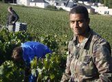 Vinobraní v Champagni