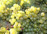 V Champagni - proslavené svým šumivým vínem - skon...