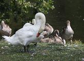 U rybníků žije vodní ptactvo