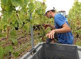 V Champagni sběračem vína
