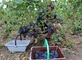 A odrůda vína Pinot noir, u nás známá jako Rulands...
