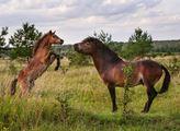 Táta na hraní. Čeští vědci publikovali překvapivé výsledky o chování hřebců divokých koní