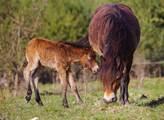Česká krajina: V Poslanecké sněmovně začala výstava Návrat divokých koní