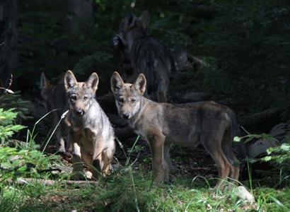 Hnutí Duha: Vlci se vrací do Beskyd, letos přivedli na svět potomky