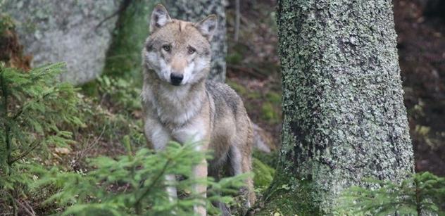 AOPK: Vlci v chomutovské knihovně