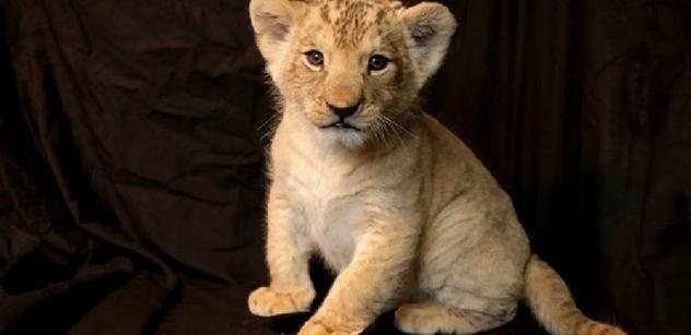 Plzeňská zoo pokřtila lvíče, sameček dostal arabské jméno