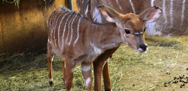 Zoo Plzeň: Mláďata vzácné antilopy mají jména