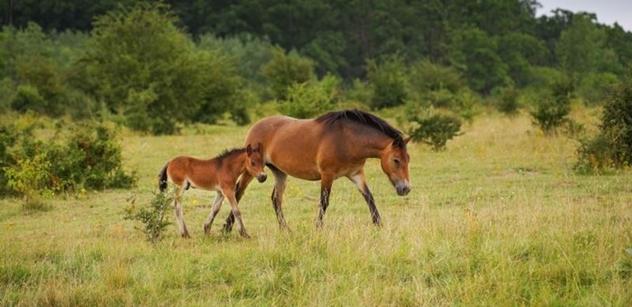 Česká krajina: Rezervace divokých koní získala prestižní cenu za udržitelnost v kategorii Změna klimatu