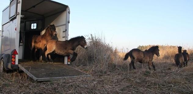 Česká krajina: Divocí koně včera osídlili dvě nové rezervace na Pardubicku a na Třeboňsku