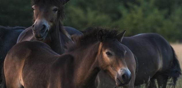 Lepší než Kazma! Video divokých koní má přes čtyři miliony zhlédnutí, překonává i většinu českých youtuberů