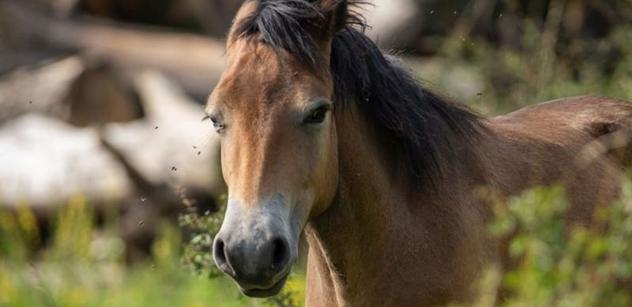Česká krajina: Lidé pohybem pomohli vybrat peníze na opravu a vybudování napajedel pro divoké koně