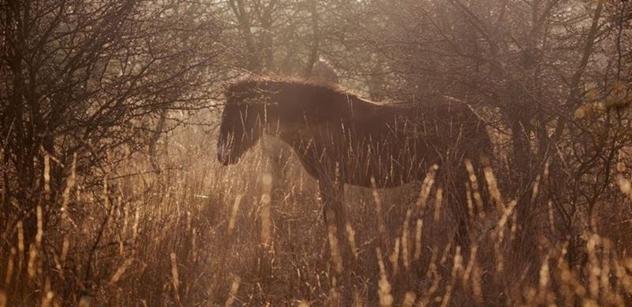 Česká krajina: Se záchranou divokých koní pomáhá nová rezervace  u Rokycan i dvě východočeské lokality