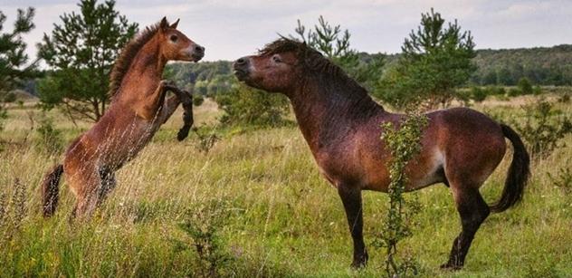 Česká krajina: Divocí koně a zubři znovu zaujali svět, od USA přes Rusko, Čínu a Indii až po Nový Zéland či Saúdskou Arábii