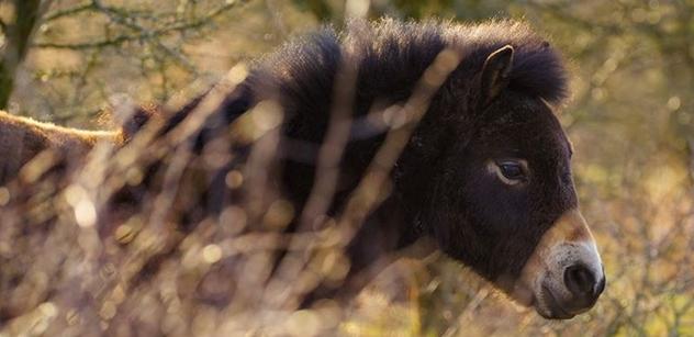 Česká krajina: Do záchrany divokých koní z milovické rezervace se zapojilo Německo, dnes tam odjely dvě klisny