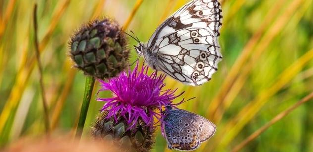 Česká krajina: Motýli a včely vymírají. Čeští vědci úspěšně vyzkoušeli recept na jejich záchranu