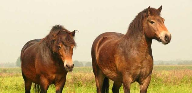 Druhé stádo divokých koní přijelo do rezervace, doplnilo skupinu zubrů