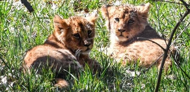 Lvíčata se jmenují Anoona a Akashinga. Zoo Brno má i lípu k 100. výročí republiky