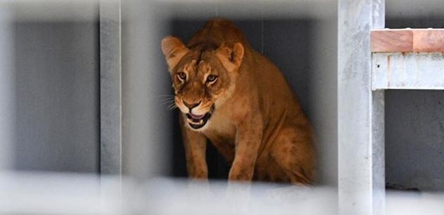 Do brněnské zoo přicestovala vzácná samička lva konžského