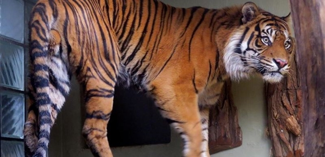 Darebáci, svinstvo! Andrej Babiš a Tomio Okamura k zabíjení tygrů v Česku