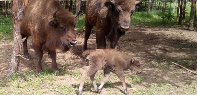 Česká krajina: V rezervaci se dnes narodilo první letošní mládě zubrů, samec Polanin se stal poprvé otcem